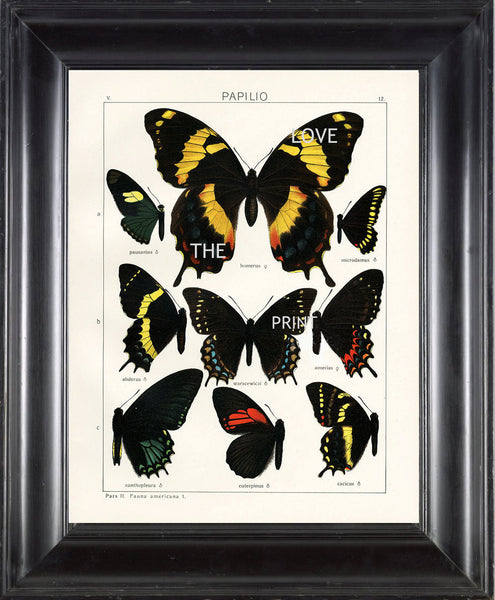 BUTTERFLY PRINT SEITZ  Art Print 5 Beautiful Antique Butterflies Homerus, Warscewiczi, Xanthopleura Large Yellow Summer Garden Nature