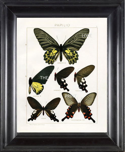 BUTTERFLY PRINT SEITZ  Art Print 7 Beautiful Antique Butterflies Aeacus Ravana and Loochooanus Large Yellow Summer Garden Nature