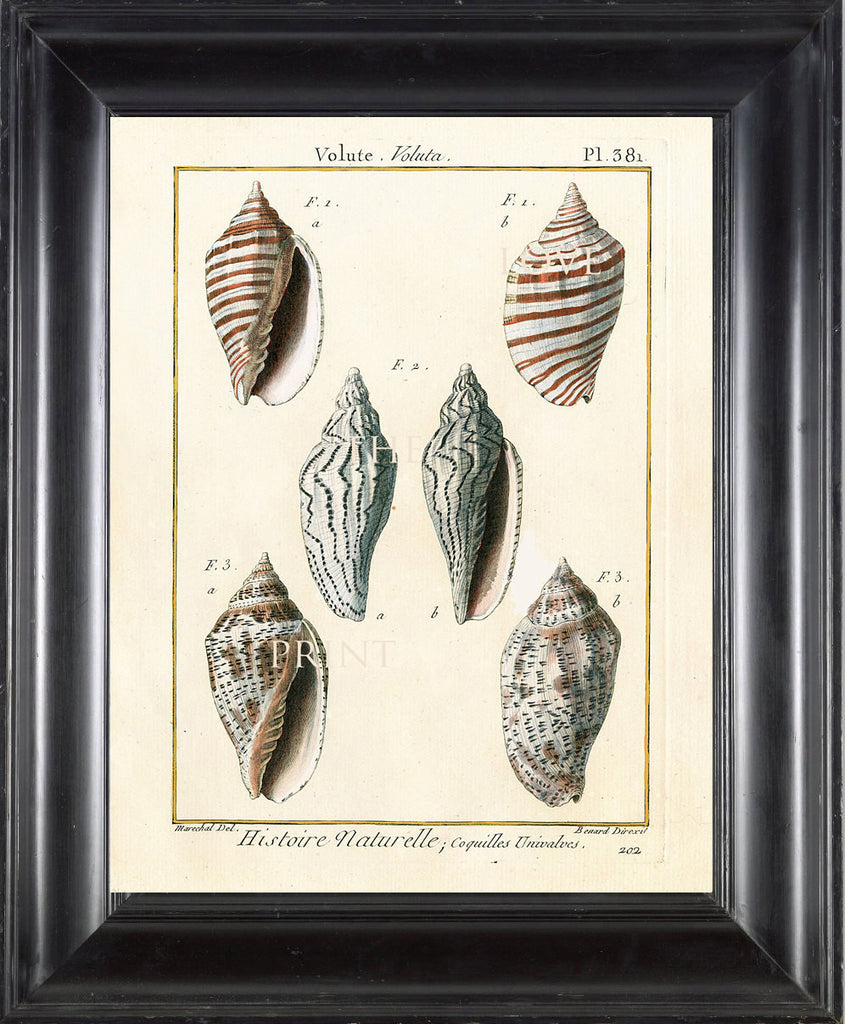 SHELL PRINT LAMARCK  Art Print 4 Beautiful Antique Volute Shells Sea Ocean Nature to Frame Home Decoration Wall Hanging