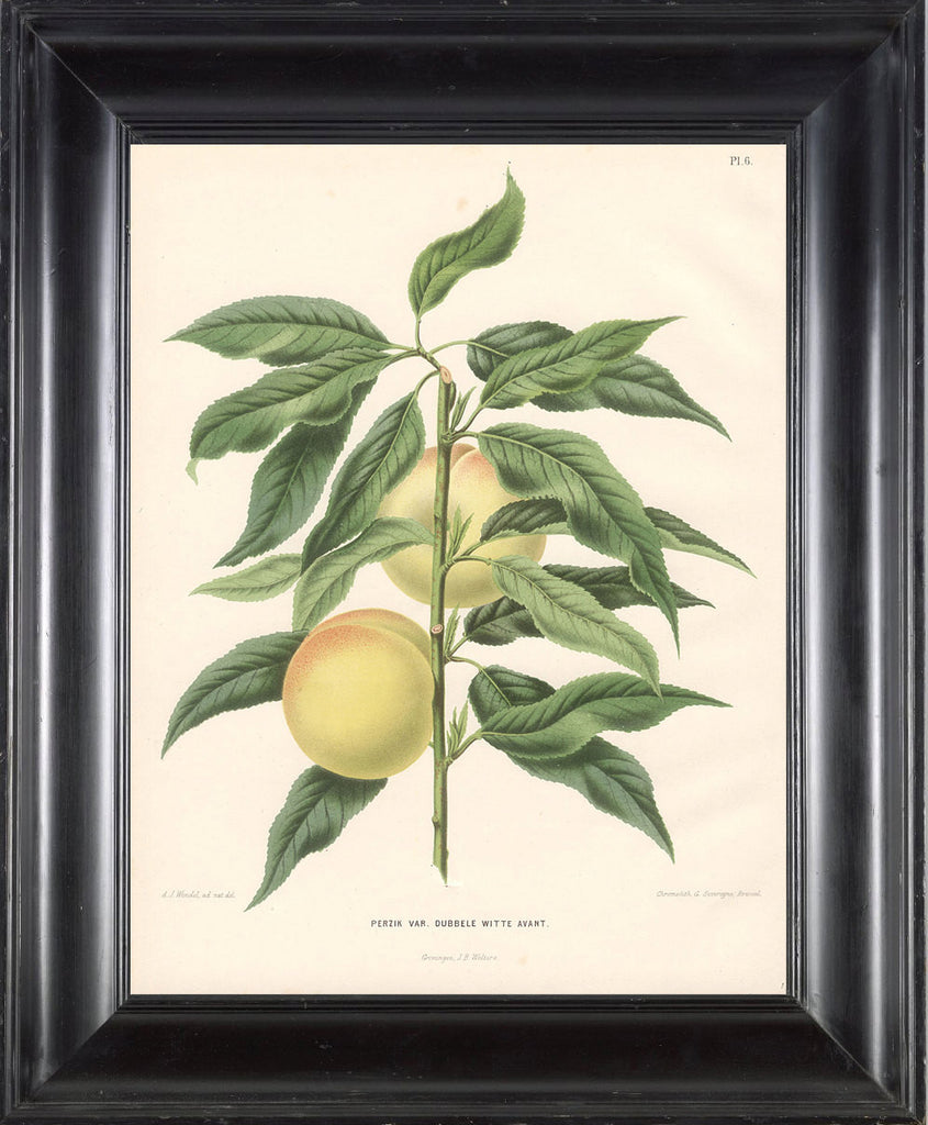 BOTANICAL PRINT Wendel  Botanical Art Print 1 Beautiful Peach Fruit Tree Branch Plant to Frame Interior Design