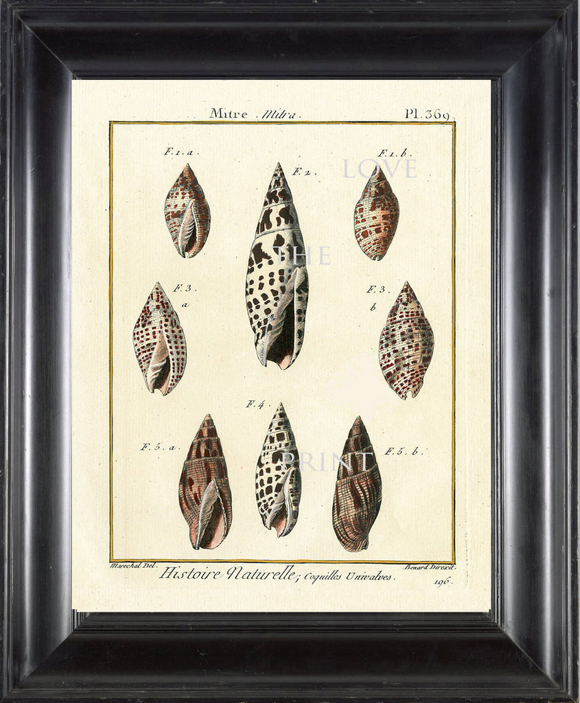 SHELL PRINT LAMARCK  Art Print 3 Beautiful Antique Mitre Shells Sea Ocean Nature to Frame Home Decoration Wall Hanging