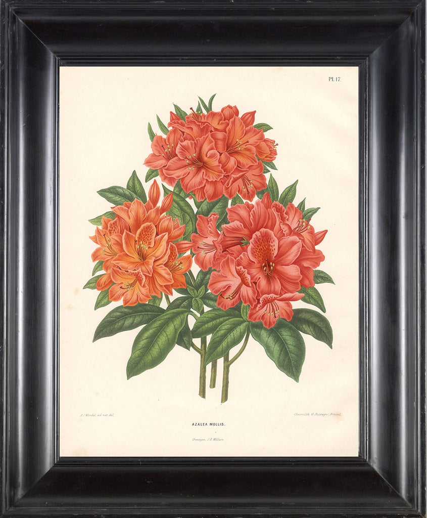 BOTANICAL PRINT Wendel  Botanical Art Print 5 Beautiful Antique Azalea Mollis Flower Spring Garden Plant to Frame