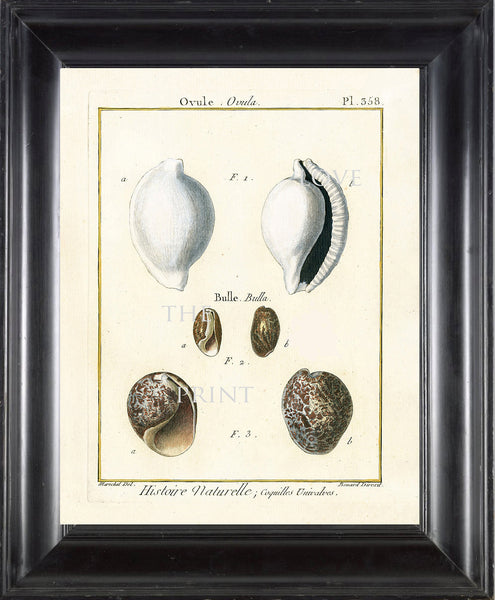 SHELL PRINT LAMARCK  Art Print 6 Beautiful Antique Ovule Shells Sea Ocean Nature to Frame Home Decoration Wall Hanging