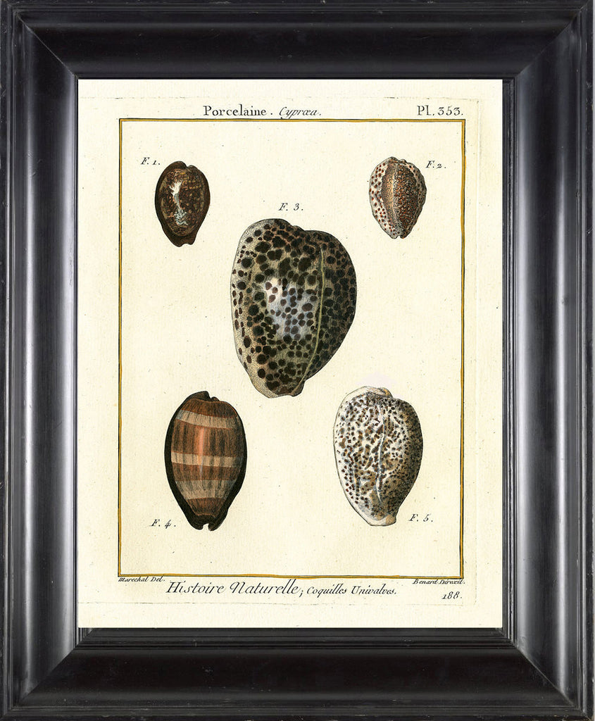SHELL PRINT LAMARCK  Art Print 7 Beautiful Antique Ovule Shells Sea Ocean Nature to Frame Home Decoration Wall Hanging