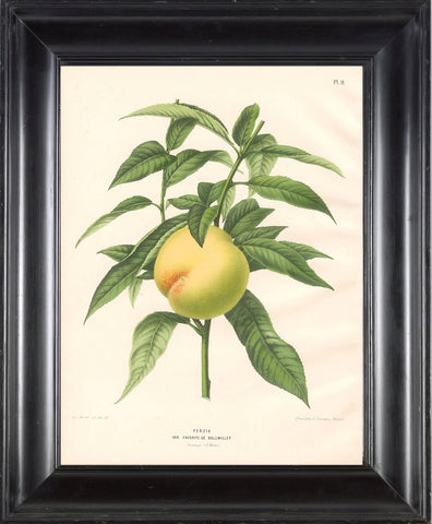 BOTANICAL PRINT Wendel  Botanical Art Print 2 Beautiful Peach Fruit Tree Branch Plant to Frame Interior Design From LoveThePrint