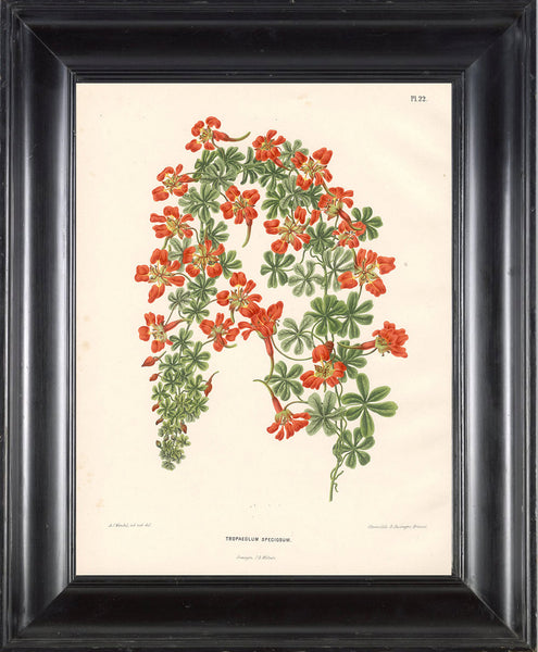 BOTANICAL PRINT Wendel  Botanical Art Print 6 Beautiful Tropaeolum Orange Flower Spring Summer Garden Plant to Frame