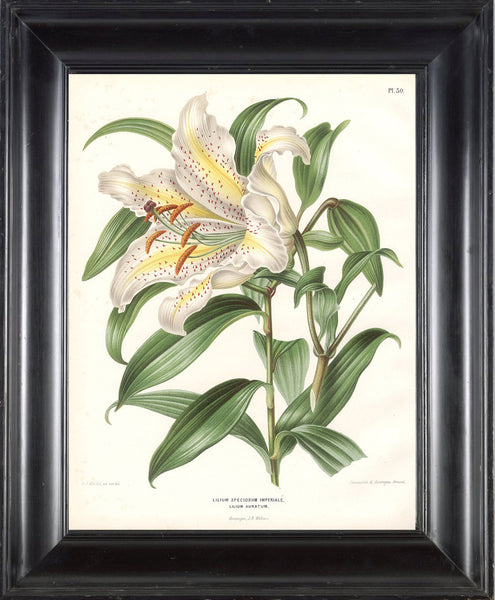 BOTANICAL PRINT Wendel  Botanical Art Print 7 Beautiful White Lily Flower Spring Summer Garden Plant to Frame
