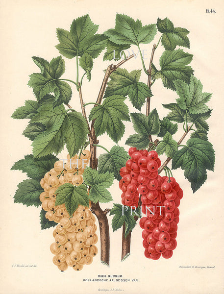 BOTANICAL PRINT Wendel  Botanical Art Print 12 Beautiful White Currant Berries Garden Plant to Frame Interior Decoration Room Design