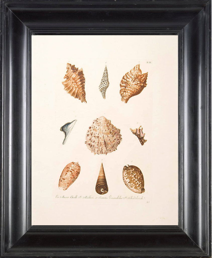 SHELL PRINT KNORR  Art Print 4 Beautiful Antique Shells to Frame Marine Sea Ocean Nature Natural Science