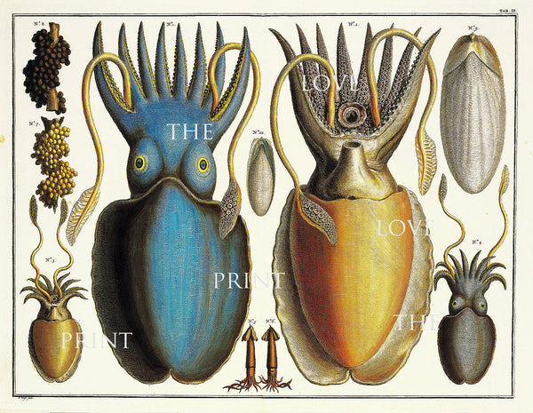 SQUID PRINT KNORR  Art Print 1 Marine Beautiful Antique Squid Blue Yellow Octopus ro Frame Sea Ocean Nature Natural Science