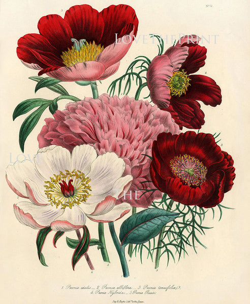 BOTANICAL PRINT Loudon Flower  Botanical Art Print 1 Beautiful Peony Peonies Bouquet Paeonia albilflora Pink White Red Spring Garden