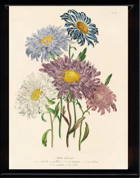 BOTANICAL PRINT Loudon Flower  Botanical Art Print 26 Beautiful Antique China Aster White Purple Violet Garden