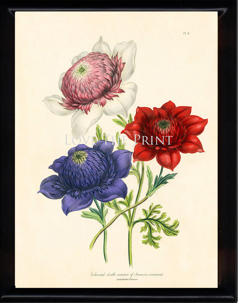 BOTANICAL PRINT Loudon Flower  Botanical Art Print 54 Beautiful Antique Anemone Red Pink Violet Flowers to Frame