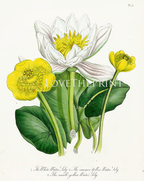 BOTANICAL PRINT Loudon Flower  Botanical Art Print 76 Beautiful Antique White Water Lily Flowers to Frame