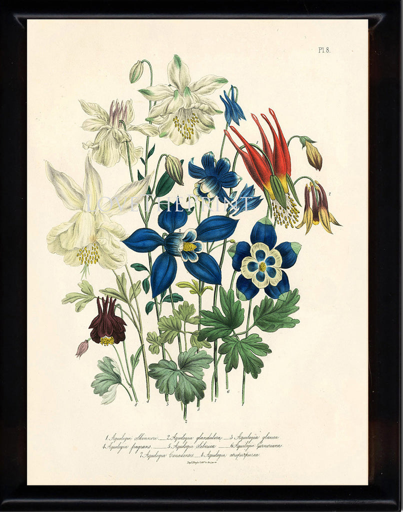 BOTANICAL PRINT Loudon Flower  Botanical Art Print 64 Beautiful Blue Antique Aquilegia Skinneri Flowers Garden
