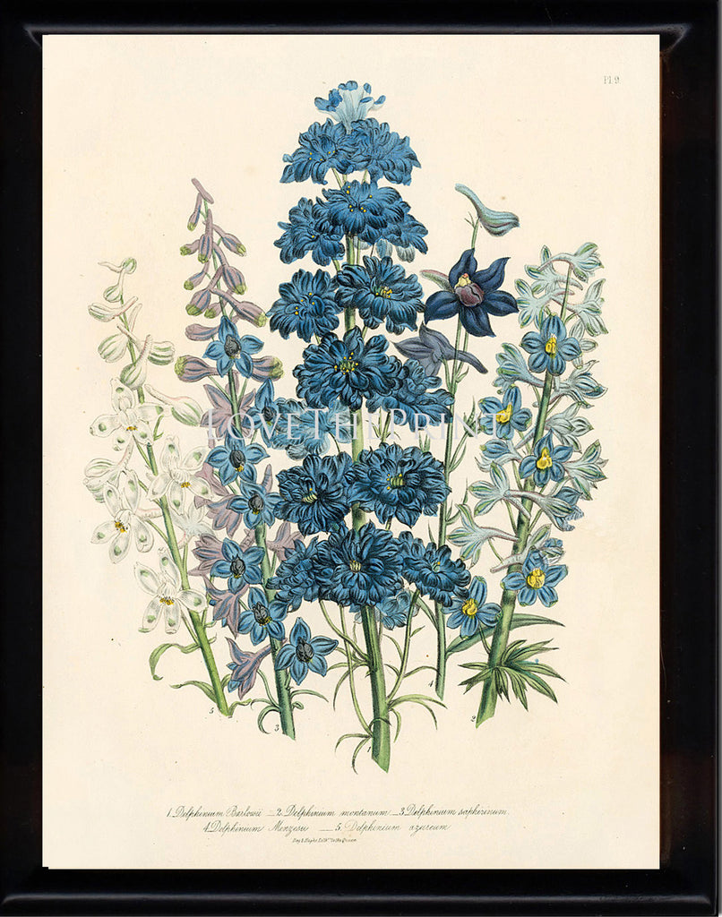 BOTANICAL PRINT Loudon Flower  Botanical Art Print 61 Beautiful Blue Antique Delphinium Flowers Garden