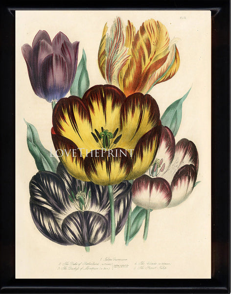 BOTANICAL PRINT Loudon Flower  Botanical Art Print 13 Beautiful Antique Parrot Tulip Flowers Garden