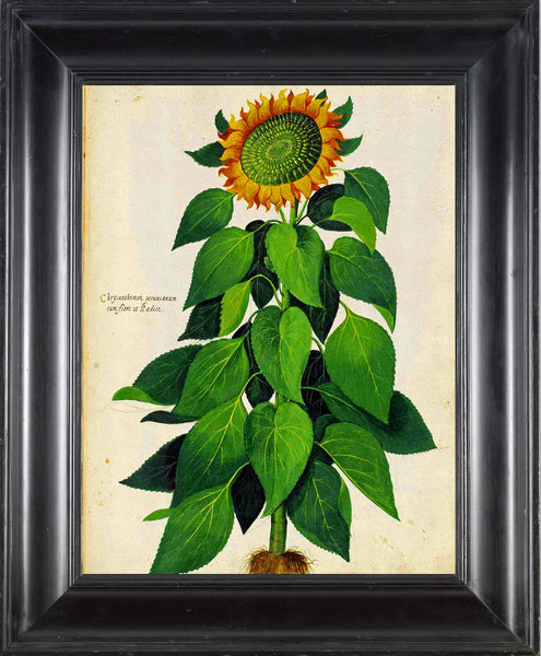 ITALIAN VEGETABLE Garden Aldrovandi  Botanical Art Print 4 Antique Beautiful Large Yellow Sunflower Plant Garden Flower Home Decoration
