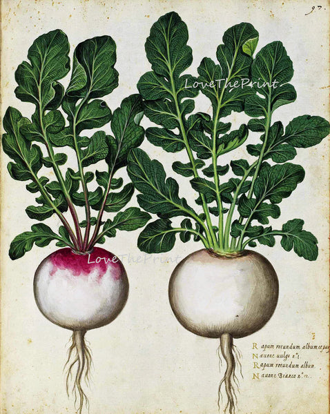 ITALIAN VEGETABLE Garden Aldrovandi  Botanical Art Print 5 Antique Beautiful Radish Plant with Roots Home Decoration