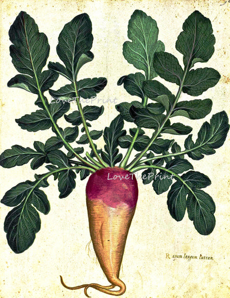 ITALIAN VEGETABLE Garden Aldrovandi  Art Print 31 Botanical Antique Beautiful Rooted Plant with Green Leaves Garden Nature