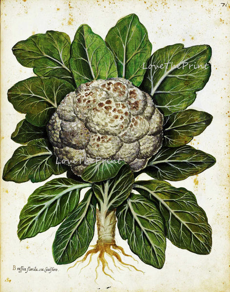 ITALIAN VEGETABLE Garden Aldrovandi  Art Print 6 Botanical Antique Beautiful Cauliflower Plant Home Decoration