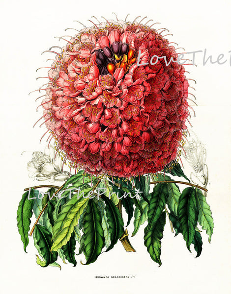 BOTANICAL PRINT HOUTTE  Art Print 7 Beautiful Large Flower Pink White Red Brownea Grandiceps Spring Summer Nature Flowers Garden