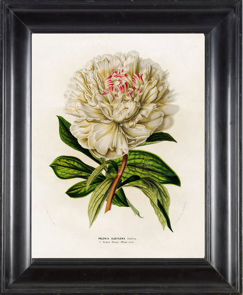 BOTANICAL PRINT HOUTTE  Art Print 8 Beautiful Large White Peony Flower Spring Summer Nature Flowers Garden Home Wall Decor