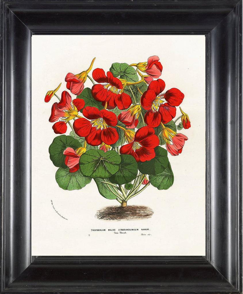 BOTANICAL PRINT HOUTTE  Art Print 28 Beautiful Nasturtium Orange Yellow Red Flower Garden Spring Summer Illustration Home Wall Decor