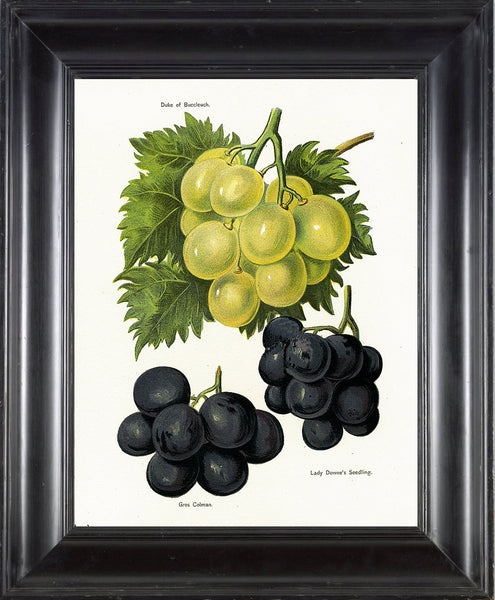 FRUIT PRINT Wright  Botanical Art Print 19 Antique Duke of Buccleuch Grapes Grapevine Green Nature Home Garden Decor