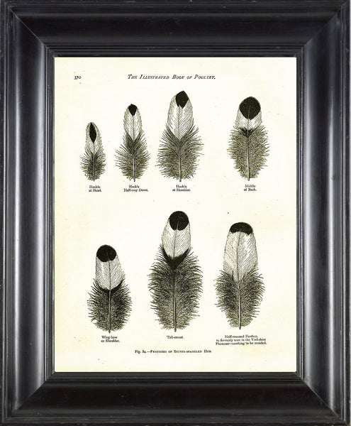BIRD FEATHERS Wright  Art Print 3 Beautiful Antique Silver Spangled Hen Bird Feather Chart in Black and White to Frame