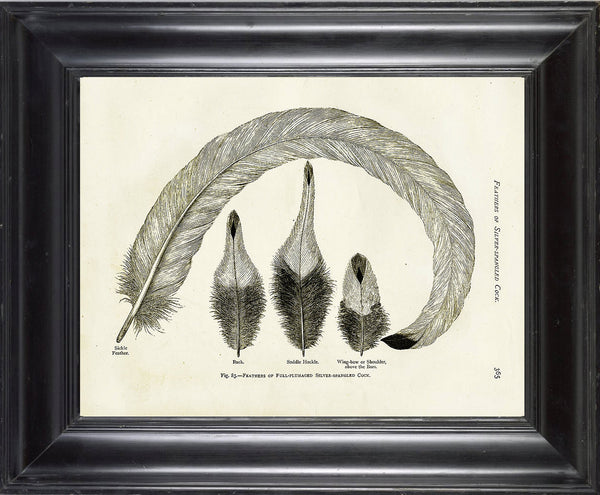 BIRD FEATHERS Wright  Art Print 4 Beautiful Antique Bird Feather Full plumaged Silver Spangled Cock Chart in Black and White to Frame