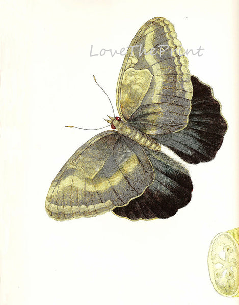 BUTTERFLY PRINT  Botanical Art Print 6 Beautiful Antique Ivory Butterfly Colorful and Detailed Interior Design Room Decoration