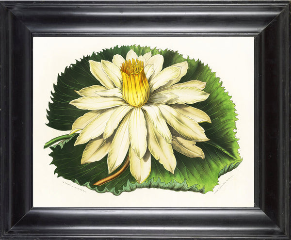 BOTANICAL PRINT HOUTTE  Art Print 11 Beautiful Large White Water Lily Lake Summer Nature Flowers Garden Home Wall Decor