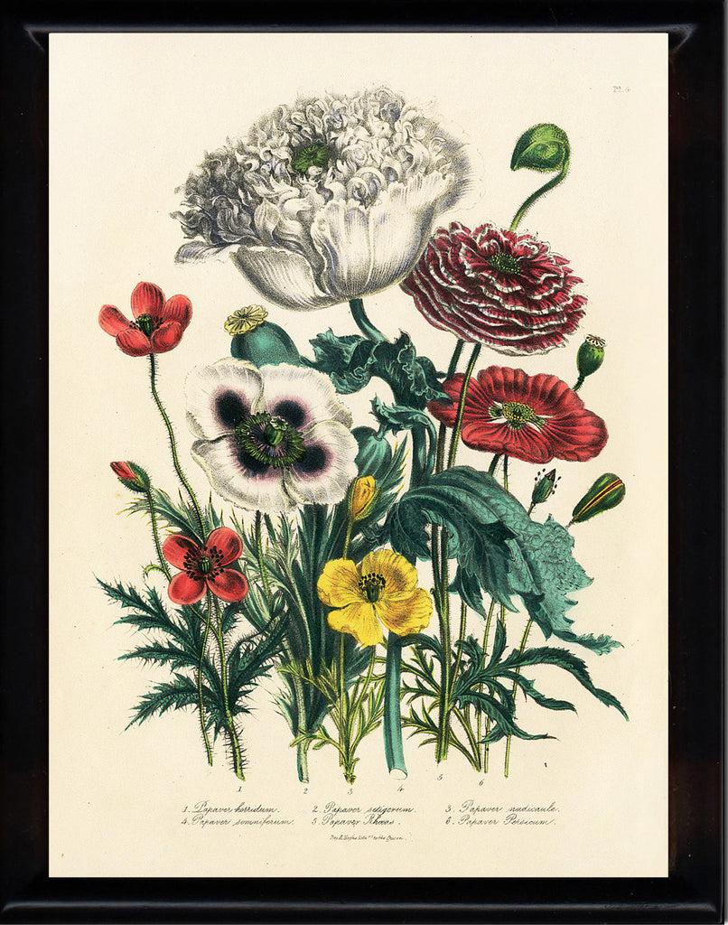 BOTANICAL PRINT Loudon Flower  Botanical Art Print 6 Beautiful Antique Poppies Red White Yellow Poppy Garden Nature Room Decor