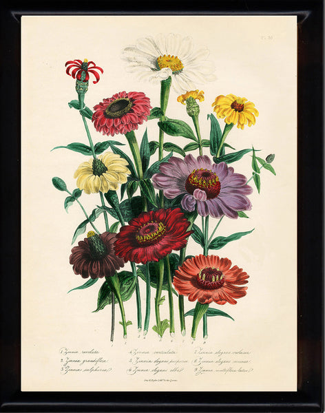 BOTANICAL PRINT Loudon Flower  Botanical Art Print 25 Beautiful Antique Calendula Marygold Yellow Orange Violet Flowers Garden Nature