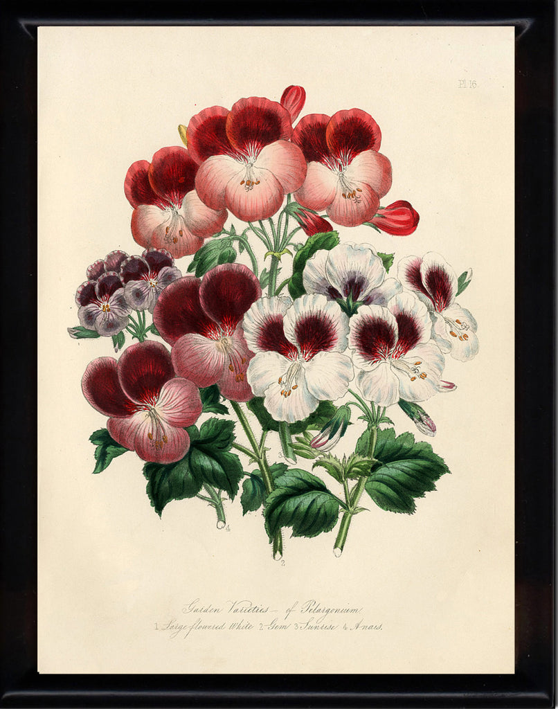 BOTANICAL PRINT Loudon Flower  Botanical Art Print 7 Beautiful Antique Red White Burgundy Pansies Pansy Flowers Spring Garden