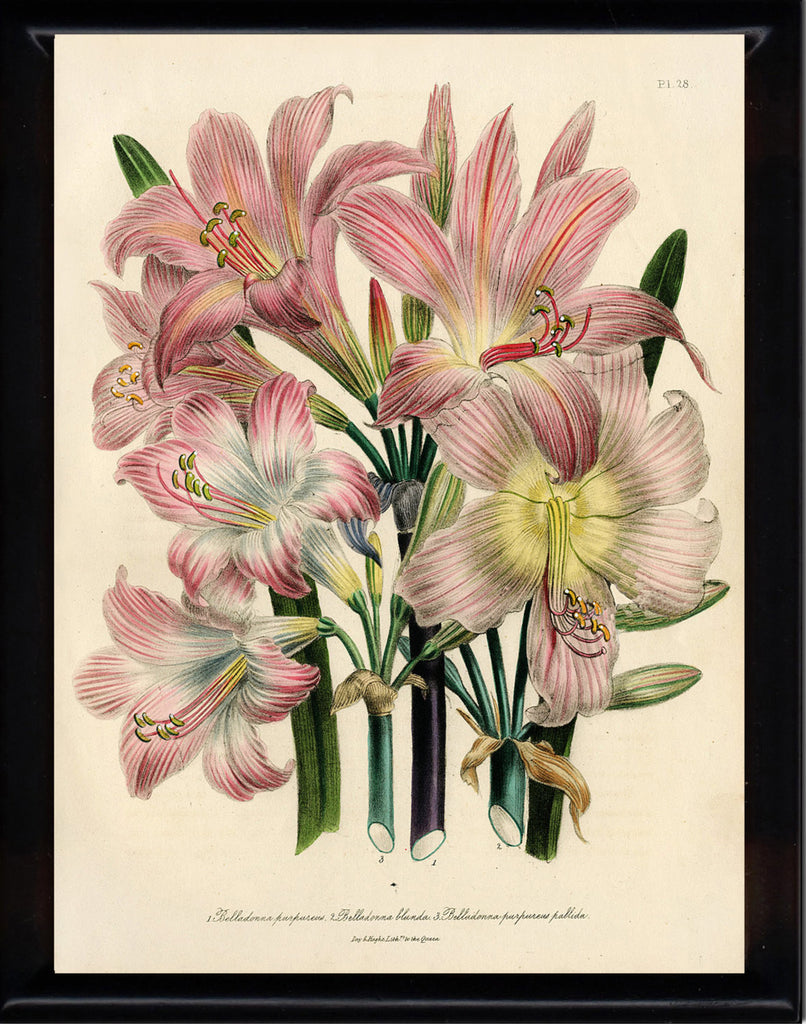 BOTANICAL PRINT Loudon Flower  Botanical Art Print 8 Beautiful Antique Pink White Lily Lilies Flowers Spring Garden
