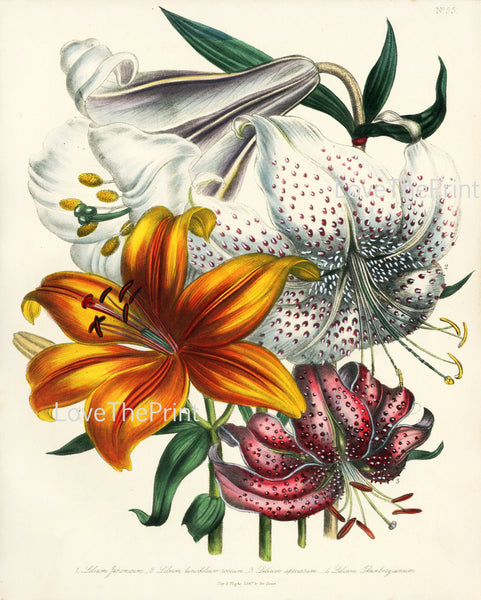 BOTANICAL PRINT Loudon Flower  Botanical Art Print 16 Beautiful White Orange Lily Spring Flowers Garden to Frame