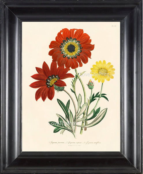 BOTANICAL PRINT Loudon Flower  Botanical Art Print 43 Beautiful African Daisy Spring Flowers Garden to Frame