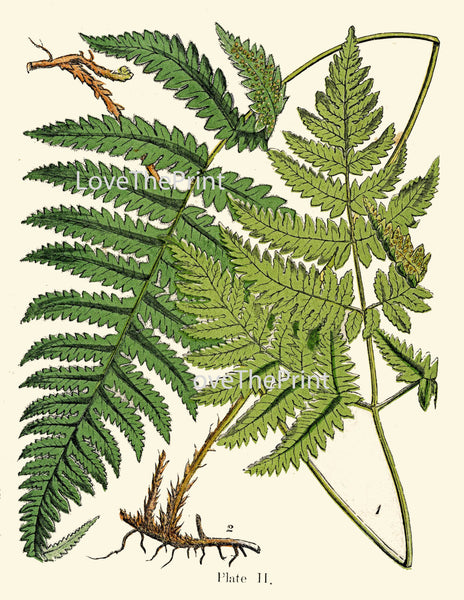 ANTIQUE FERN Lindman  Botanical Art Print 11 Antique Beautiful Green Ferns Forest Nature Natural Science to Frame Wall Decor