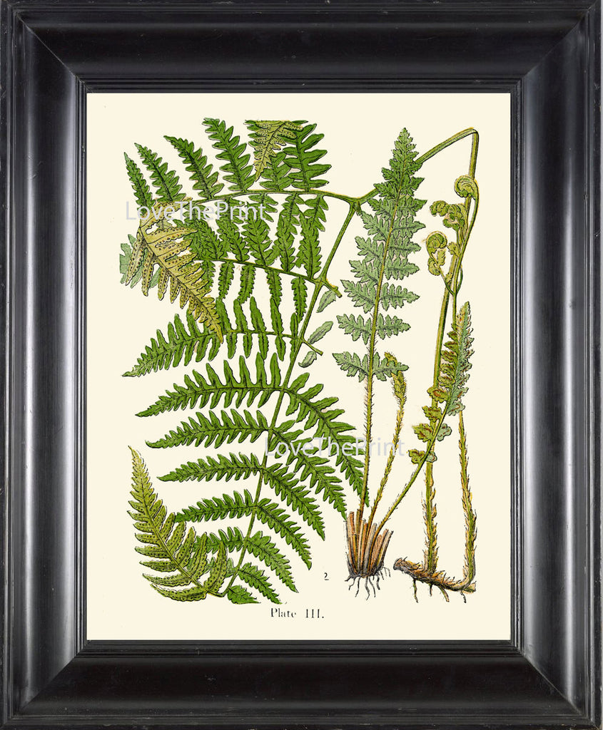 ANTIQUE FERN Lindman  Botanical Art Print 10 Antique Beautiful Green Ferns Forest Nature Natural Science to Frame Wall Decor