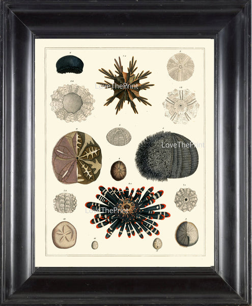 SEA URCHIN Sand Dollar Crown PRINT Marine  Art Print 54 Beautiful Antique Sea Urchins Home Decor to Frame Sea Ocean Natural Science