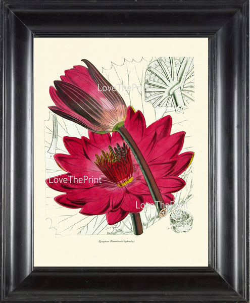 BOTANICAL PRINT Lotus Flower  Botanical Art Print N1 Beautiful Antique Large Pink Water Lily Lake Nature Spring Garden