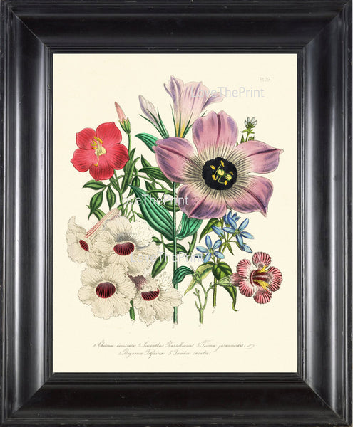 BOTANICAL PRINT Loudon Flower  Botanical Art Print 10 Beautiful Antique Lisianthus Prairie Gentian Bouquet in Pink Violet White Garden