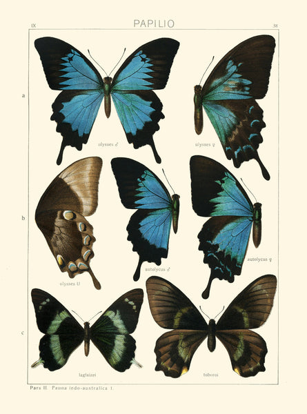 BUTTERFLY PRINT SEITZ  Botanical Art Print 11 Beautiful  Blue Green Butterflies Ulysses, Autolycus, Laglaizei Summer Garden Nature