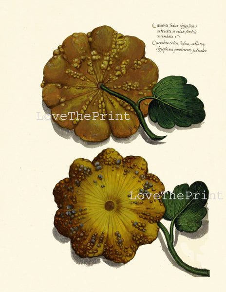 ITALIAN VEGETABLE Garden Aldrovandi  Art Print 17 Botanical Antique Beautiful Squash Plant Home Decoration