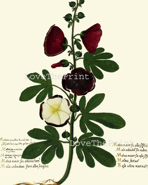 ITALIAN VEGETABLE Garden Aldrovandi  Art Print 41 Botanical Antique Beautiful Hollyhock Flower Plant Home Decoration