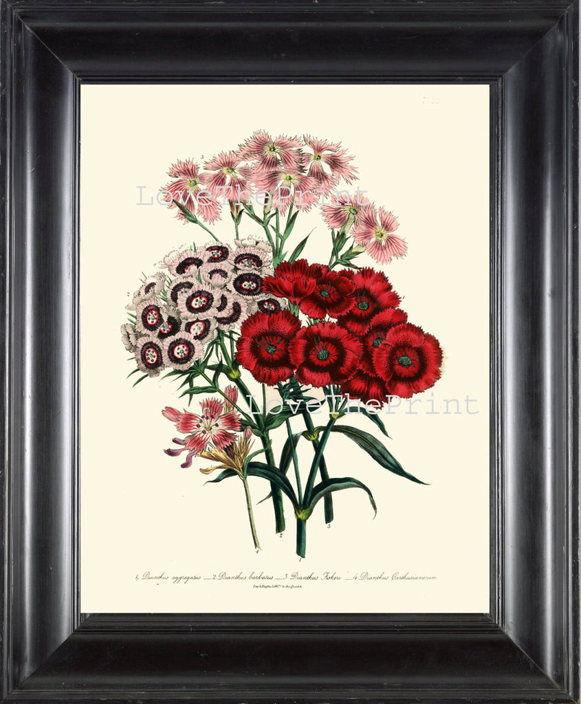 BOTANICAL PRINT Loudon Flower  Botanical Art Print 47 Beautiful Dianthus Aggregatus Bouquet Pink White Red Spring Garden