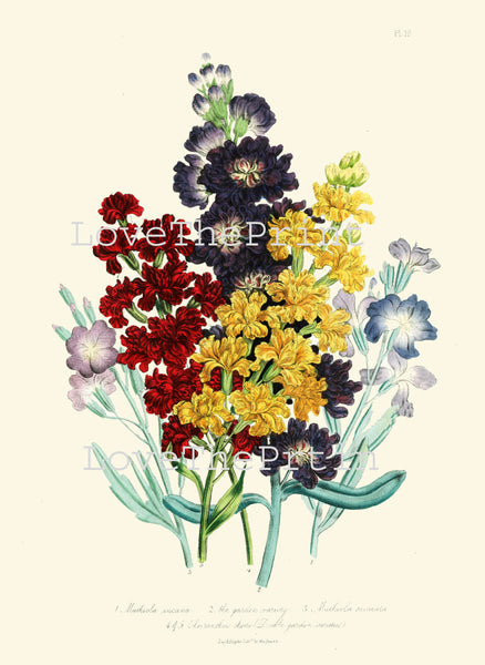 BOTANICAL PRINT Loudon Flower  Botanical Art Print 74 Beautiful Sea Stock Bouquet Sea Stock Blue Yellow Red Spring Garden