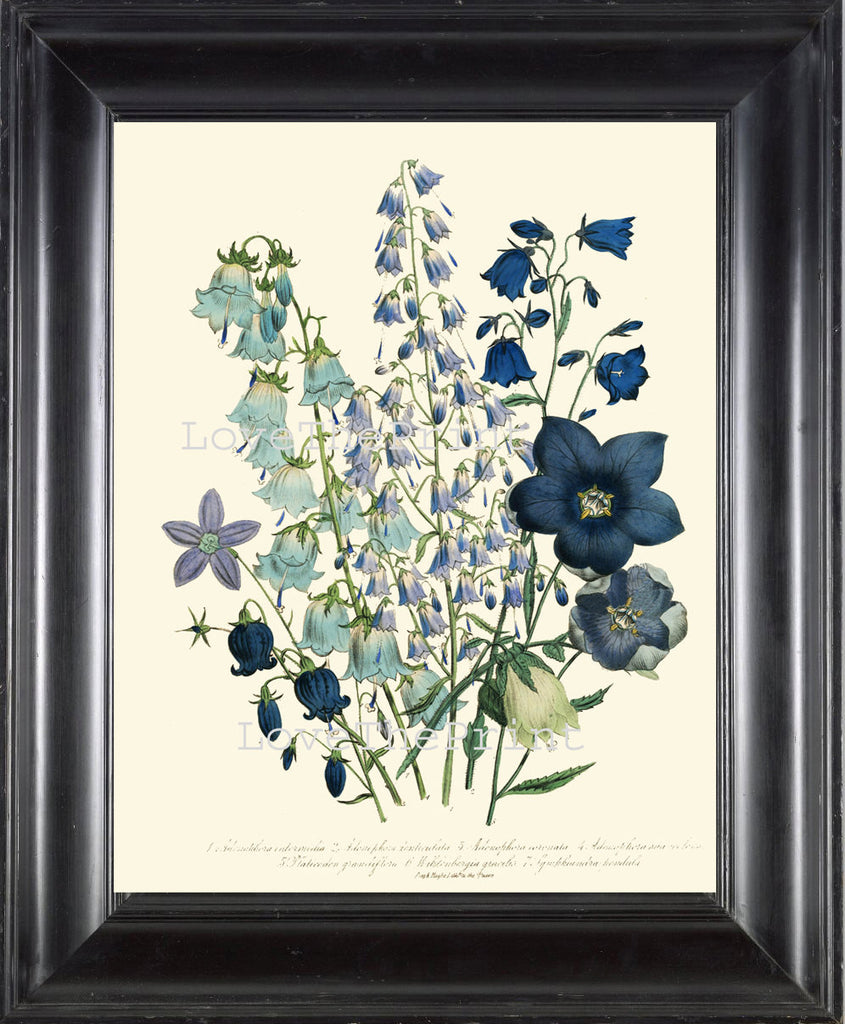 BOTANICAL PRINT Loudon Flower  Botanical Art Print 60 Beautiful Bell Flowers Blue Violet Purple Adenophora denticulata Spring Garden